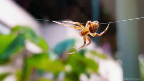 Den akrobatiska spindeln Royaltyfri Fotografi