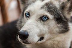 Den alaskabo skrovliga hunden ser rak på kameran som försöker att förstå royaltyfri bild