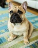 Den alltid gulliga franska bulldoggen Arkivbild