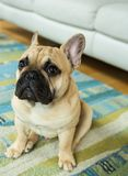 Den alltid gulliga franska bulldoggen Royaltyfri Foto