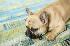 Den alltid gulliga franska bulldoggen Fotografering för Bildbyråer