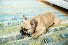 Den alltid gulliga franska bulldoggen Arkivfoto