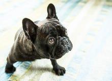 Den alltid gulliga franska bulldoggen Arkivbilder