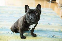 Den alltid gulliga franska bulldoggen Royaltyfri Fotografi