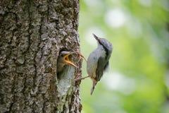 Den alltid hungriga gröngölingen frågar för mat från hans förälder Wood nuthatch för vuxen fågel eller Sittaeuropaea nära redet i Arkivbild