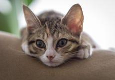 Den alltid nyfikna KittyCaten Arkivfoto