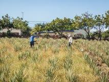 Den aloeVera jordbruksarbetaren ATV turnerar av de Curacao för den östliga sidan sikterna arkivbild