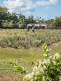 Den aloeVera lantgården ATV turnerar av de Curacao för den östliga sidan sikterna arkivfoto