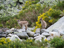 Den alpina bergsfåret behandla som ett barn i den lösa naturen Arkivfoto