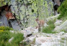 Den alpina bergsfåret behandla som ett barn i den lösa naturen Royaltyfri Fotografi