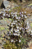 Den alpina blomman, Euphrasia Alpina, Eyebright, vaggar på med laven Valpelline Aosta Valley, Italien arkivfoton