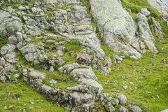 Den alpina geten på vaggar, monteringen Bianco, monteringen Blanc, fjällängar, Italien Arkivfoton