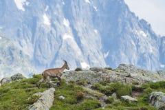 Den alpina geten på vaggar, monteringen Bianco, monteringen Blanc, fjällängar, Italien Arkivbild