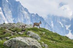Den alpina geten på vaggar, monteringen Bianco, monteringen Blanc, fjällängar, Italien Royaltyfri Bild