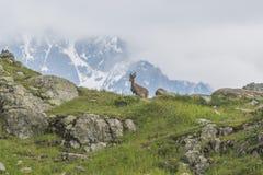 Den alpina geten på vaggar, monteringen Bianco, monteringen Blanc, fjällängar, Italien Arkivbilder