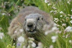 Den alpina murmeldjuret (Marmotamarmota) på gräs Royaltyfri Fotografi