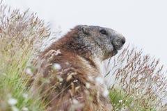 Den alpina murmeldjuret (Marmotamarmota) på gräs Arkivfoton
