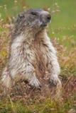 Den alpina murmeldjuret (Marmotamarmota) på gräs Royaltyfria Bilder