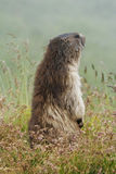 Den alpina murmeldjuret (Marmotamarmota) på gräs Arkivbilder