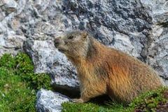 Den alpina murmeldjuret (Marmotamarmota) vaggar på Royaltyfri Foto