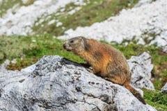 Den alpina murmeldjuret (Marmotamarmota) vaggar på Arkivfoton