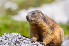 Den alpina murmeldjuret (Marmotamarmota) vaggar på Fotografering för Bildbyråer