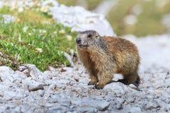 Den alpina murmeldjuret (Marmotamarmota) vaggar på Royaltyfria Bilder