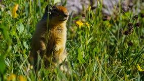 Den alpina murmeldjurMarmotamarmotaen är art av murmeldjuret som finnas i bergsområden av centralen och Sydeuropa arkivfoton