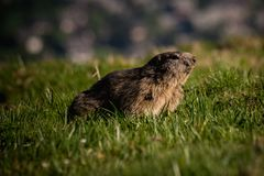 Den alpina murmeldjurMarmotamarmotaen som framåtriktat ser, detta djur, finnas i bergsområden av centralen och Sydeuropa Royaltyfria Foton