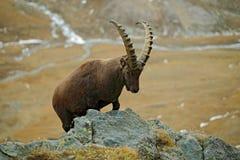 Den alpina stenbocken, Caprastenbocken, stående av det stora horn på kronhjortdjuret med vaggar i bakgrund, i livsmiljön för natu Royaltyfria Foton