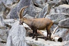 Den alpina stenbocken, Caprastenbockstenbock, är stoltheten av de alpina ängarna Royaltyfri Foto