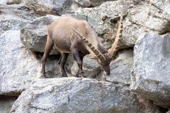 Den alpina stenbocken, Caprastenbockstenbock, är stoltheten av de alpina ängarna Arkivbilder