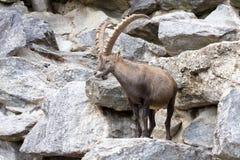 Den alpina stenbocken, Caprastenbockstenbock, är stoltheten av de alpina ängarna Royaltyfri Bild