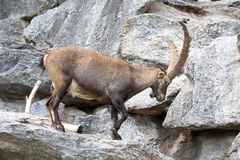 Den alpina stenbocken, Caprastenbockstenbock, är stoltheten av de alpina ängarna Arkivfoton