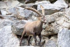 Den alpina stenbocken, Caprastenbockstenbock, är stoltheten av de alpina ängarna Arkivfoto