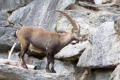 Den alpina stenbocken, Caprastenbockstenbock, är stoltheten av de alpina ängarna Royaltyfria Foton