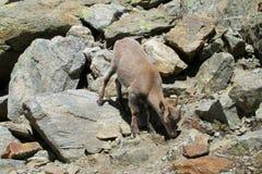 Den alpina stenbocken i den lösa naturen vaggar på Arkivfoton