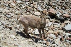 Den alpina stenbocken i den lösa naturen vaggar på Fotografering för Bildbyråer