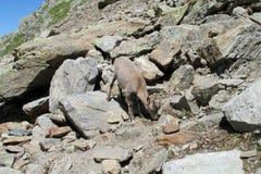Den alpina stenbocken i den lösa naturen vaggar på Royaltyfria Foton