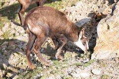 Den alpina stenget, Rupicaprarupicapra, bebor de europeiska fjällängarna Arkivfoton