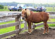 Den Altai hästaveln visar språket (som jämförs till moderna bilar). Royaltyfria Foton
