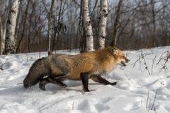 Den Amber Phase Red Fox Vulpes vulpesen kör rätt Arkivbilder