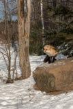 Den Amber Phase Red Fox Vulpes vulpesen står uppe på vaggar Arkivbilder