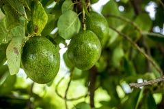 Den americana avokadoperseaen är ett träd, som är infött till södra centrala Mexico, hemligt som en medlem av famen för blomningv arkivfoton