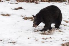Den americanus ursusen för den svarta björnen går vänstersida till och med Patchy snö royaltyfri fotografi
