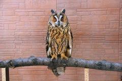 den Amerika asia asioen föder upp den gå i ax för russia för owlen för otusen för den Europa ladoga laken långa norr föregående s Arkivbild