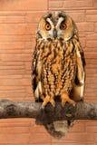 den Amerika asia asioen föder upp den gå i ax för russia för owlen för otusen för den Europa ladoga laken långa norr föregående s Royaltyfria Foton