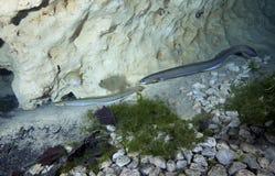 den amerikanska ålen ståtar fjädervirveln Arkivbild