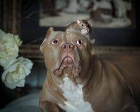 Den amerikanska översittaren och husdjuret tjaller i inre Fotografering för Bildbyråer