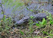 Den amerikanska alligatorn Royaltyfria Bilder